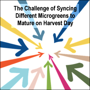 The challenge of syncing different microgreens to mature on harvest day
