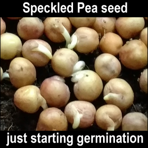 Speckled Pea seed just starting germination